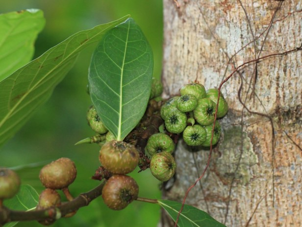 Ficus septica IMG_2667.JPG