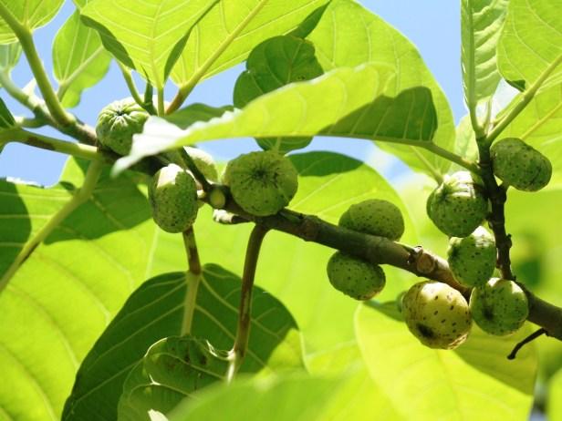 Ficus septica IMG_6355.JPG