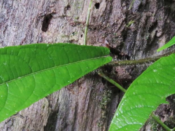 Ficus spiuralis leaf IMG_3569 - Copy.JPG