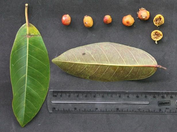 Ficus sundaica IMG_2803.JPG