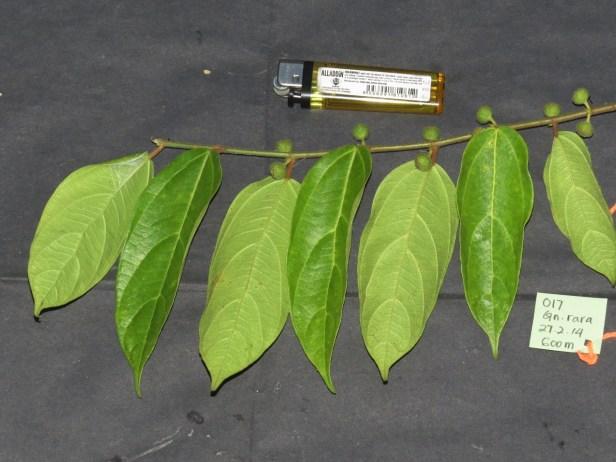 Ficus urnigera IMG_0973 - Copy.JPG