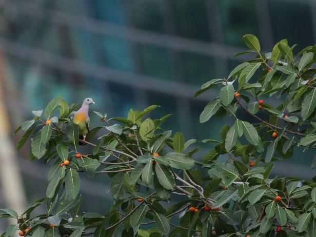 little-green-pigeon-3p7a1383