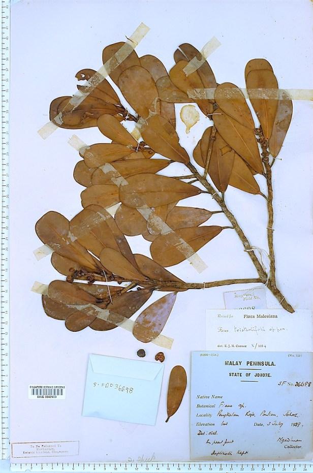 TYPE tristaniifolia malaya SING - Copy.jpg