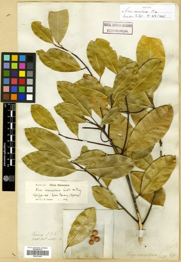 vasculosa-isotype-edinburgh-penang-isotype