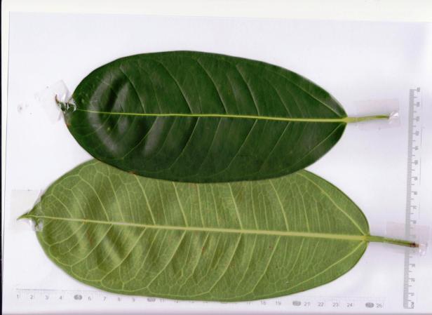 x Ficus sundaica  Dalit GCC 001.jpg