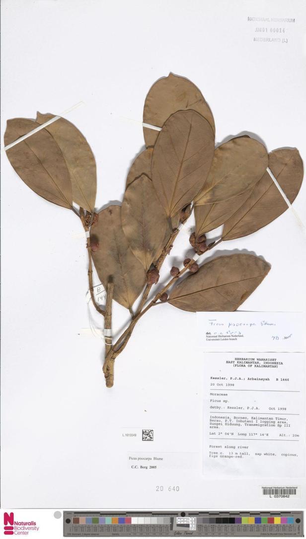 F. Pisocarpa NATURALIS, Kalimantan.jpg