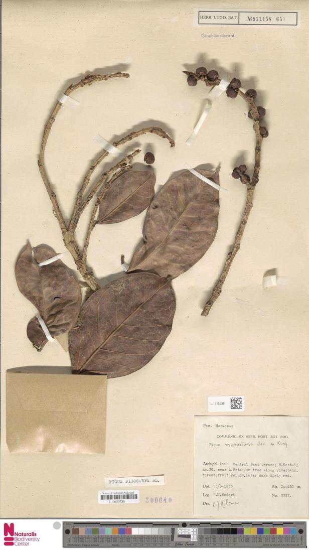F. Pisocarpa NATURALIS, West Kutai, Kalimantan.jpg