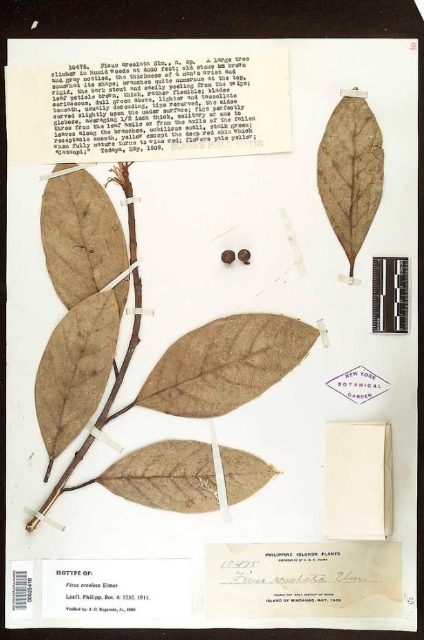 Ficus allutacea.jpg