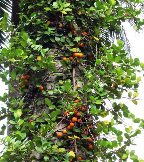 Ficus apiocarpa IMG_1404 - Copy.JPG