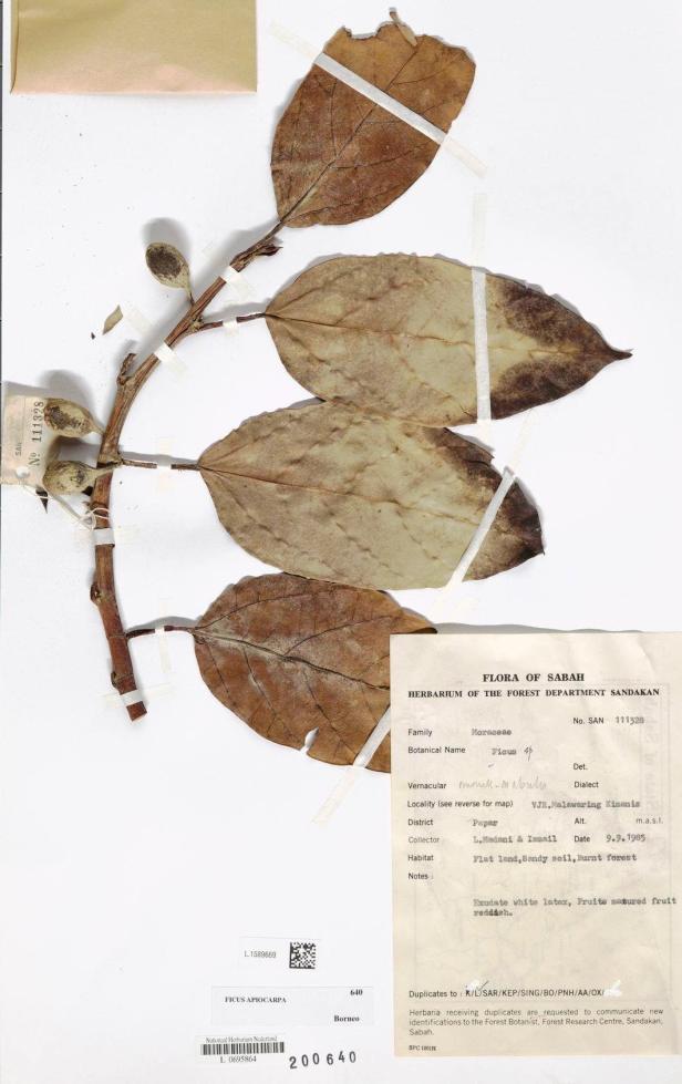 Ficus apiocarpa Kimanis - Copy.jpg