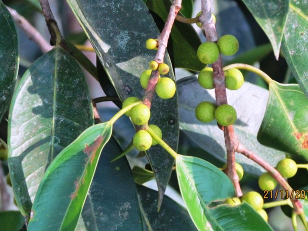 Ficus binnendijkii IMG_1446.JPG