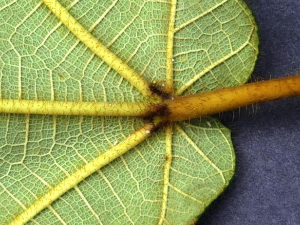 Ficus bruneoaurata IMG_0011.JPG