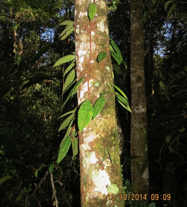 Ficus carrii IMG_0170.JPG