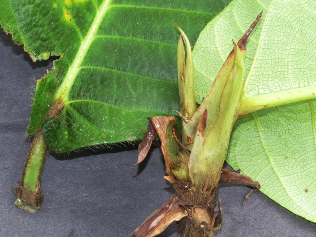 Ficus cereicarpa IMG_0290.JPG