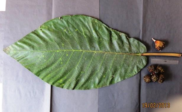 Ficus cereicarpa IMG_3463 - Copy.JPG