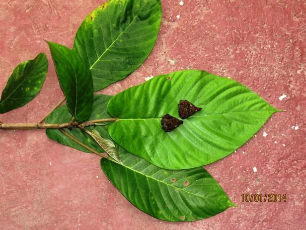 Ficus cereicarpa IMG_9007 - Copy.JPG