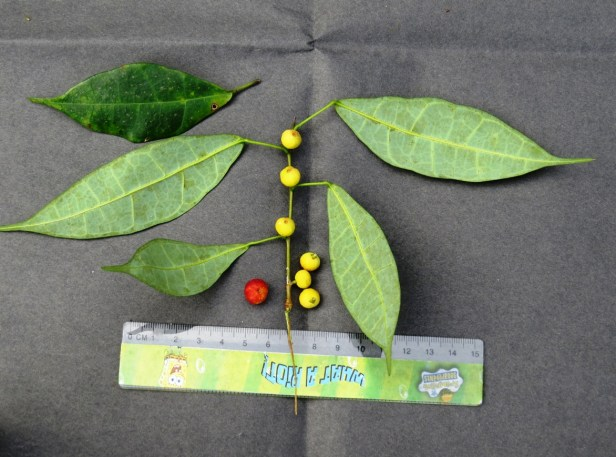 Ficus chartaceae IMG_0022 - Copy.JPG