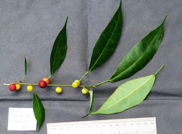Ficus chartaceae IMG_0303.JPG
