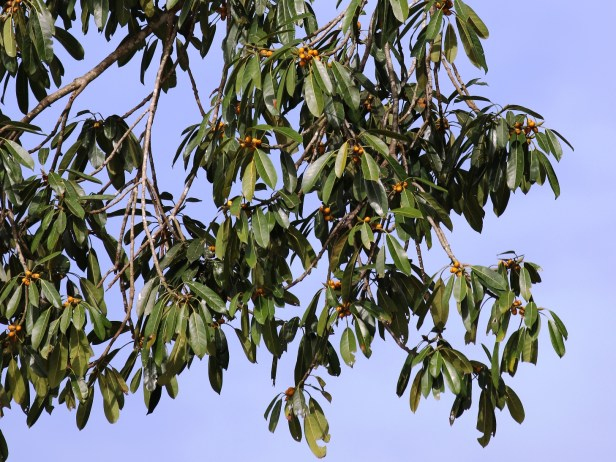 Ficus crassiramea 3P7A9803 - 04Copy.JPG