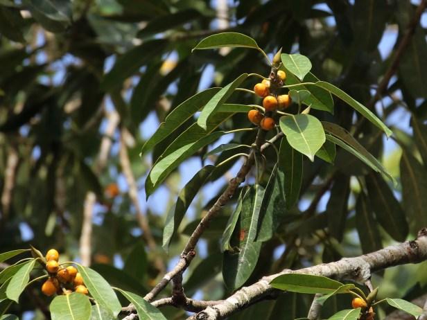 Ficus crassiramea 3P7A9828.JPG