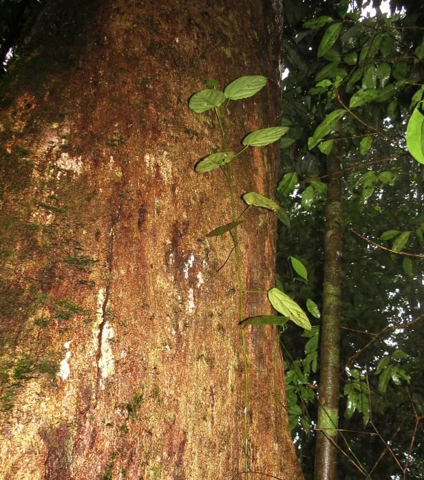 Ficus densechini IMG_2932 - Copy.JPG