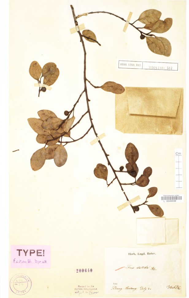 Ficus distichaTYPE L0040039_HERB - Copy.jpg
