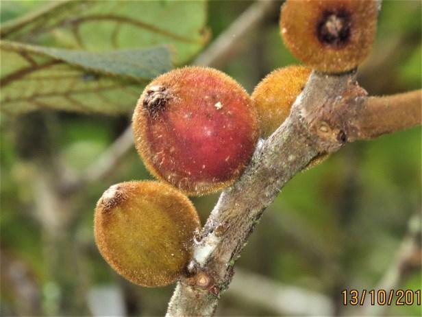 Ficus eumorpha IMG_0326 - Copy.JPG