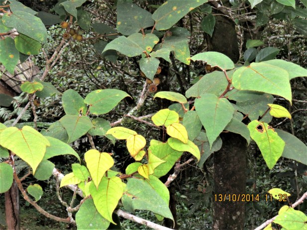 Ficus eumorpha IMG_0332 - Copy.JPG