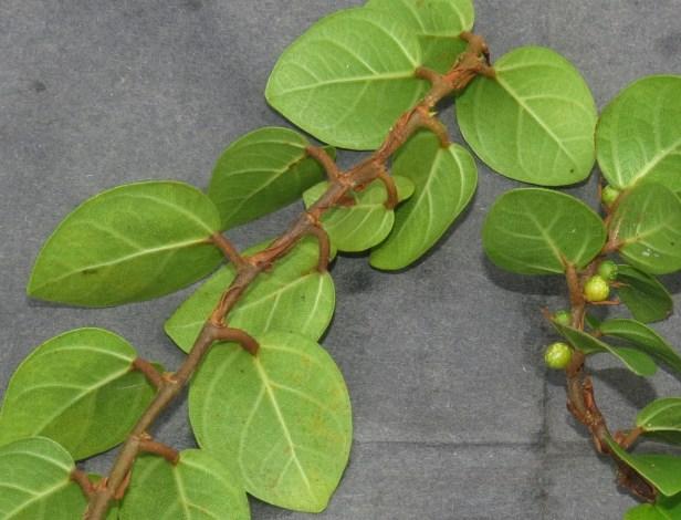 Ficus excavata IMG_1312.JPG