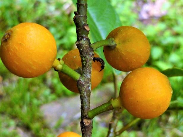Ficus glandulifera  Ficus oren 8.JPG