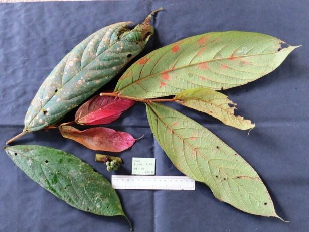 Ficus hemsleyana IMG_0344.JPG