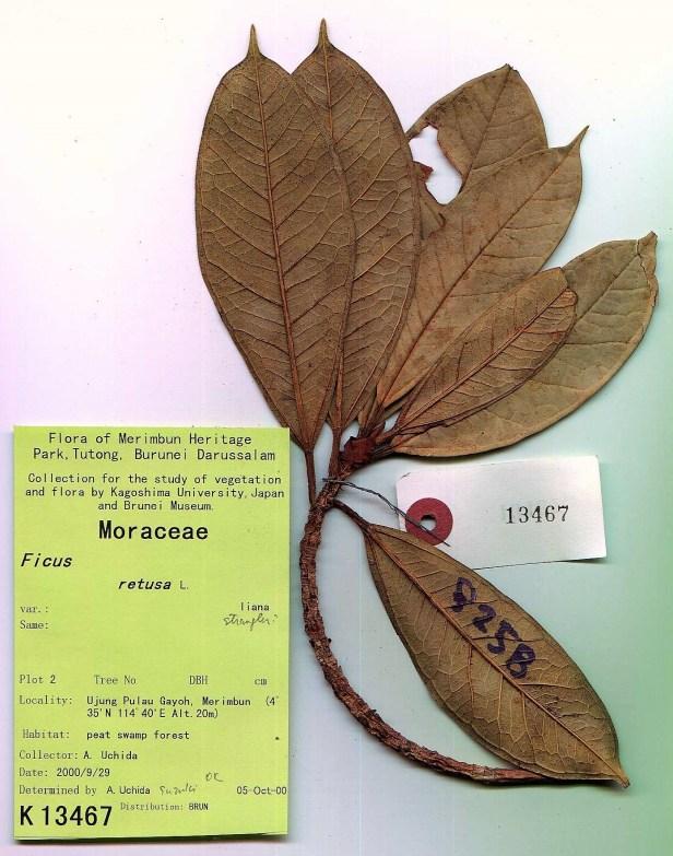 Ficus Kochummeniana Tasek Merimbun Brunei.jpg