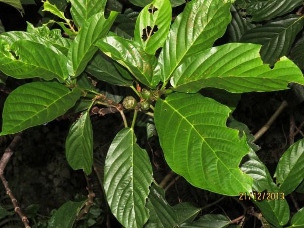 Ficus lepicarpa IMG_6499.JPG