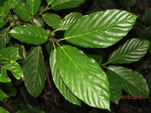 Ficus lepicarpa IMG_6520.JPG