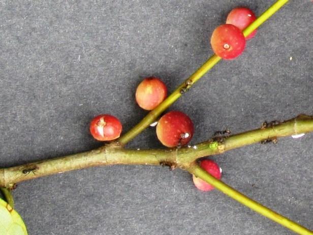 Ficus macilenta ants IMG_1497 - Copy.JPG