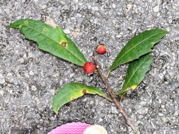 Ficus macilenta IMG_3377.JPG