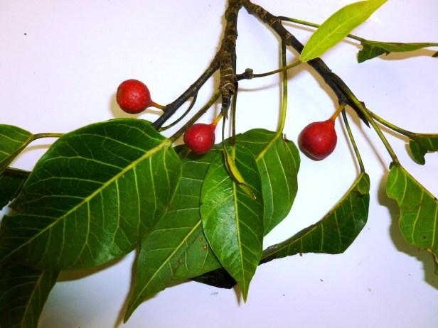 Ficus nervosa  8e - Copy.JPG