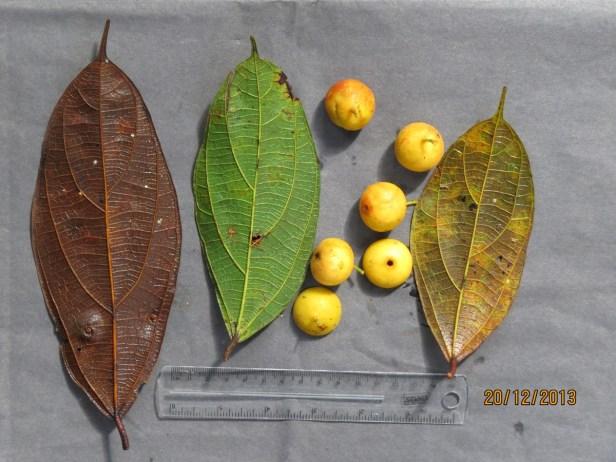Ficus parietalis IMG_5650 - Copy.JPG