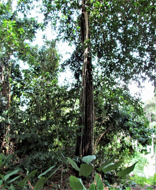 Ficus parietalis IMG_7409.JPG
