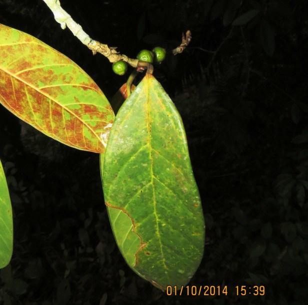 Ficus pisocarpa IMG_0219 - Copy.JPG