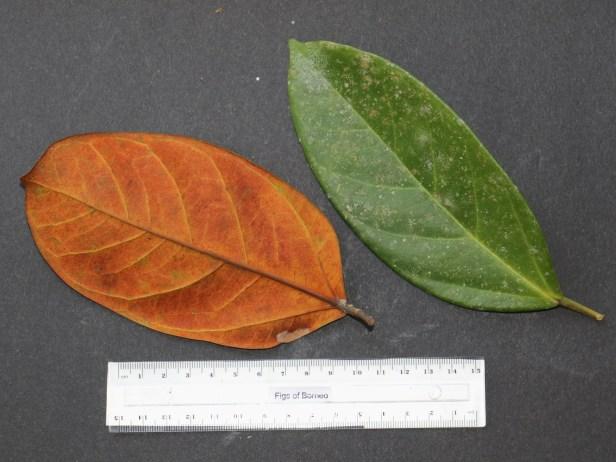Ficus pisocarpa IMG_1203.JPG