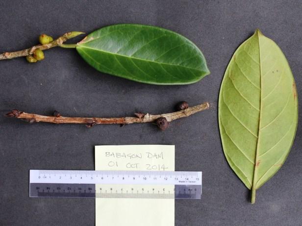 Ficus pisocarpa IMG_1459 - Copy.JPG