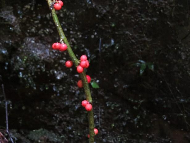 Ficus rubrocuspidata IMG_2113.JPG