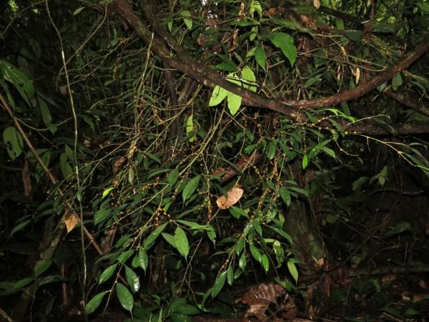 Ficus rubrocuspidata IMG_2200.JPG