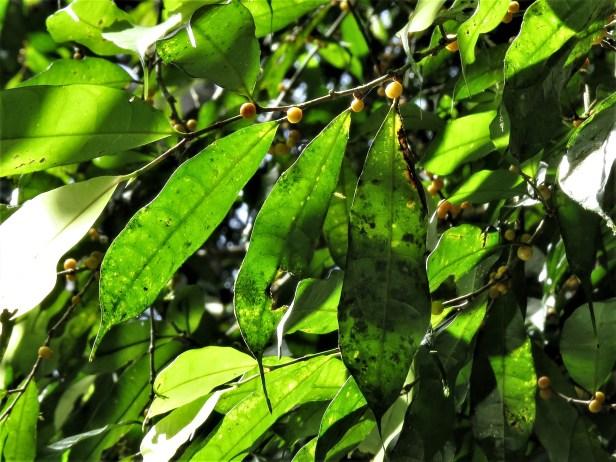Ficus rubrocuspidata IMG_5815.JPG