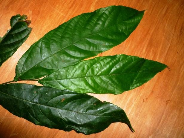 Ficus rubromidotis Ficus E2.JPG