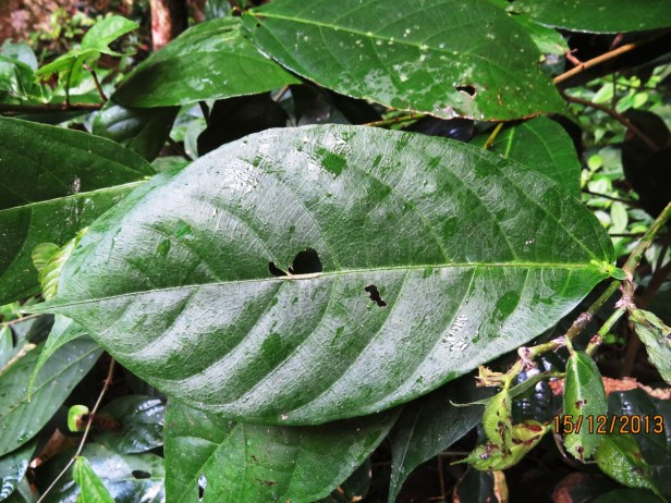 Ficus rubromidotis IMG_3741 - Copy.JPG