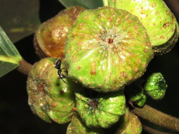 Ficus septica IMG_0020 - Copy.JPG
