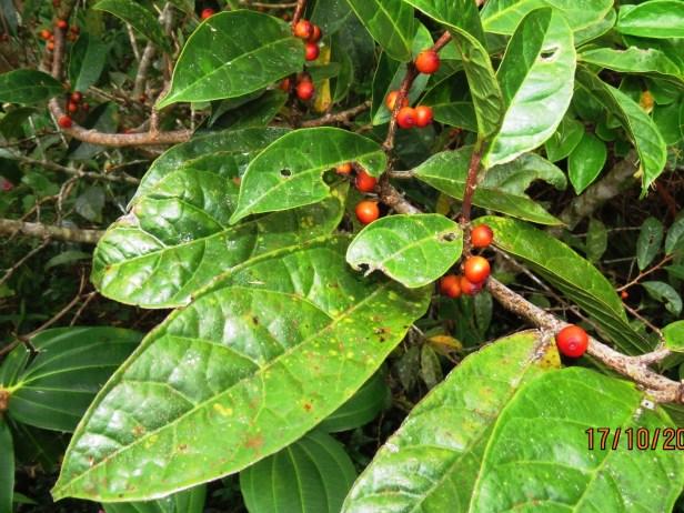 Ficus sinuata IMG_0131.JPG