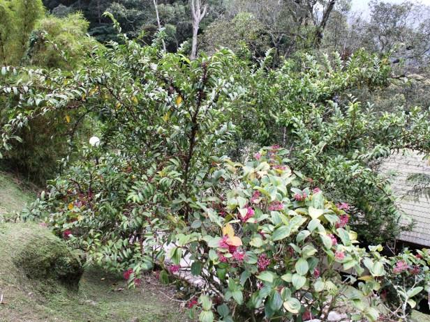Ficus sinuata IMG_2984 - Copy.JPG